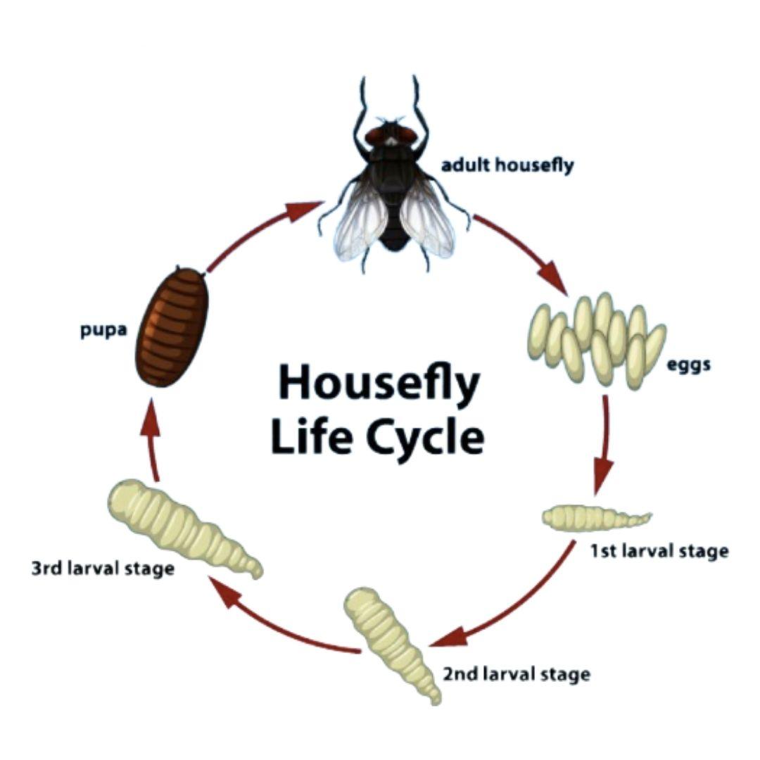 Ο κύκλος ζωής της μύγας