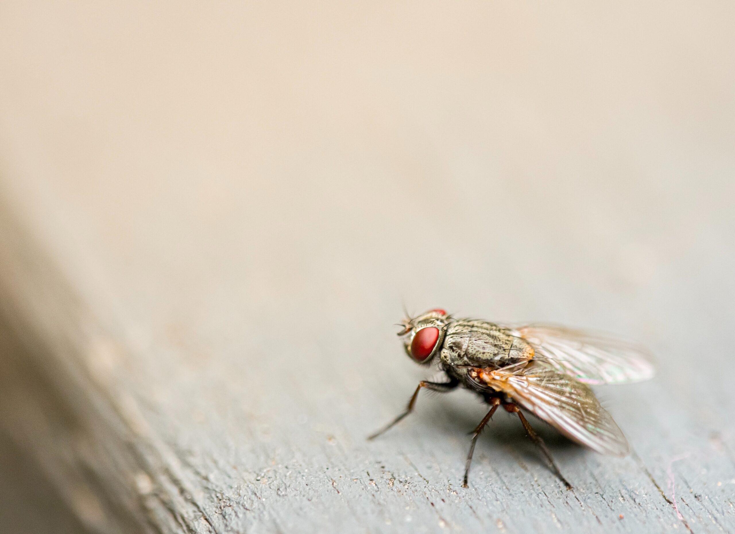 Σωστή Καταπολέμηση Μύγας Σε Επαγγελματικούς Και Οικιακούς Χώρους